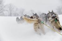 Шлейка гоночная для сибирских Хаски